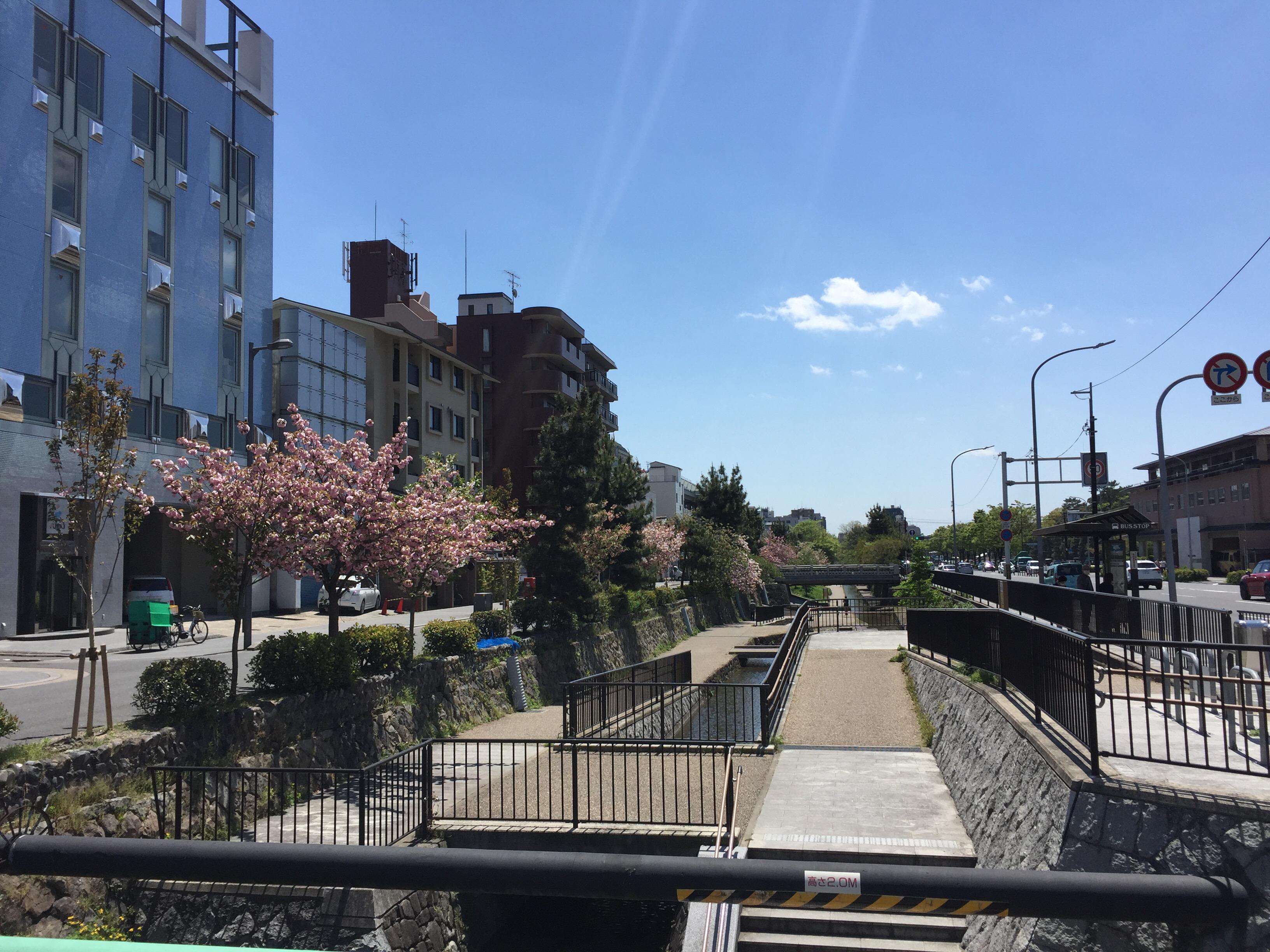 堀川の遊歩道 八重桜がきれいです