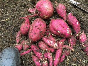 自家菜園での芋堀りの成果です