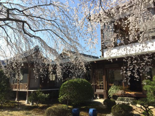 この時期、枝垂れ桜が満開です