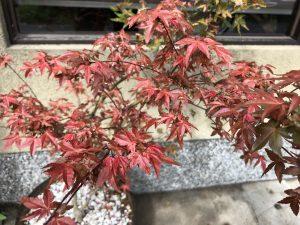 工房前に置いた鉢植えの紅葉が早くも色づいています。